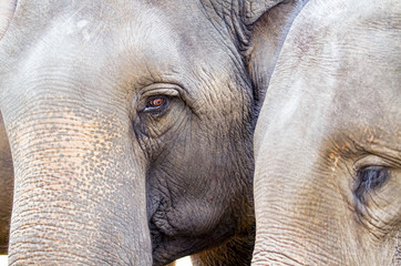 Close up of the head of Asian elephant