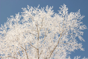 branches of trees covered with snow flakes on the background of clear blue sky