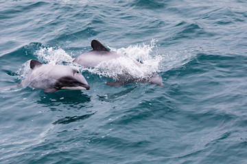 Hector's Dolphin (Cephalorhynchus hectori) mother and calf, New Zealand