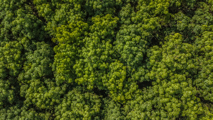 Aerial view Rubber tree forest, Top view of rubber tree and rubber leaf plantation.