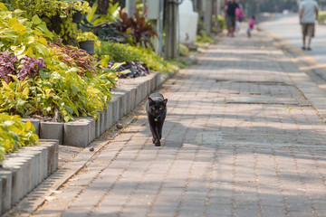 Beautiful black cat walking in the garden, Thailand