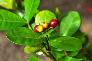 A wild shrub with bright green leaves and red fruits, growing on the territory of the United Arab Emirates and Oman
