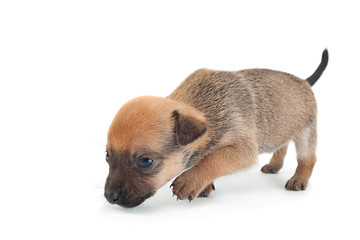 Young baby dog on white