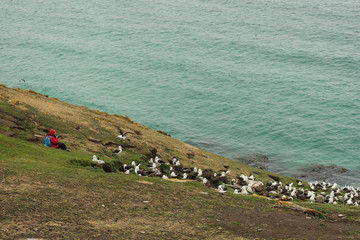 A Person Photographing a Black Brpwed Albatross Colony on a Hillside in the Falkland Islands