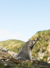 The Head and Shoulders of an South American Fur Seal