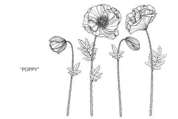 Poppies flower drawing  illustration. Black and white with line art.