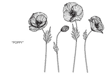 Poppies flower drawing  illustration. Black and white with line art.  Fototapete