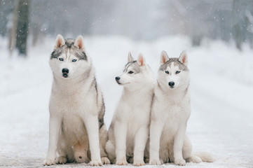 Cute adorable husky puppies sitting on road. Lovely white male dogs family. Amazing beautiful domestic mammal pets together at nature outdoor.  Purebred siberian animals leisure relaxing together.