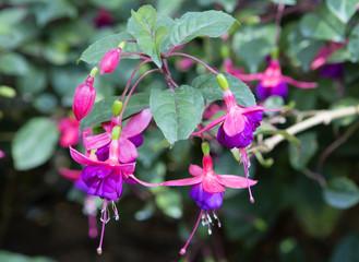 Цветок фуксия