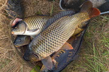fish carp in fish net background Spring angling