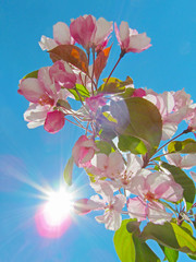 Apple tree flowers against blue sky background.  Beautiful pink spring blossom with bright sunlight.