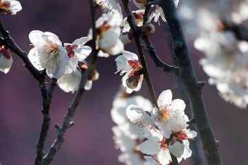 花開く白梅