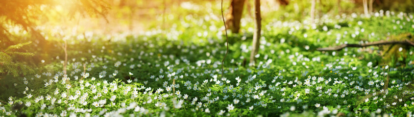 Wood with lots of white spring flowers in sunny day. Forest in springtime in wild nature with fresh...