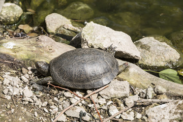 Swamp turtle on the shore of the pond
