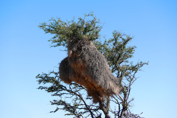 tree with huge apartment-house nest of weaver birds in Kalahari desert in Namibia.
