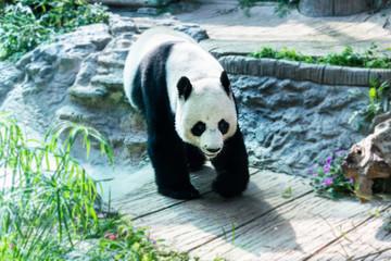 Single big panda walking