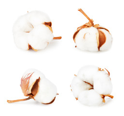 Set of cotton plant flowers isolated on white background. Collection.