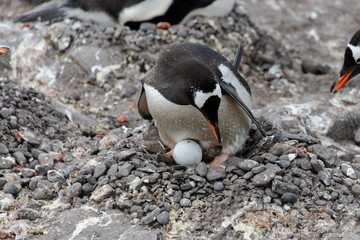 Gentoo penguin with egg in nest