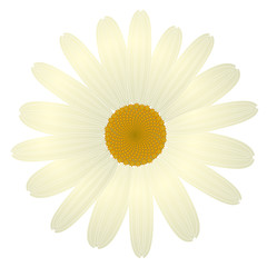beautiful white daisy flower isolated. for greeting cards and invitations of wedding birthday mother's day and other seasonal holiday vector eps 10
