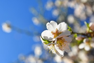 Beautiful blossom tree. Nature scene with sun on Sunny day. Spring flowers. Abstract blurred background in Springtime.