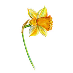 Narcissus flower watercolor isolated on white background, hand drawn yellow daffodil illustration, Floral design for elements patterns, greeting card, wedding invitation, florist shop, beauty salon