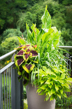 Various ornamental plants in flower pot with Canna, red coloured nettle, coleus blumei on on balcony