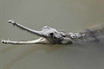 wild Gharial floating in the muddy river with an open mouth