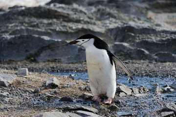 Chinstrap penguin with twig in beak
