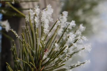 snowflake macro on the needles of pine