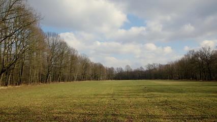 Pole zasianej pszenicy wczesną wiosną na skraju lasu