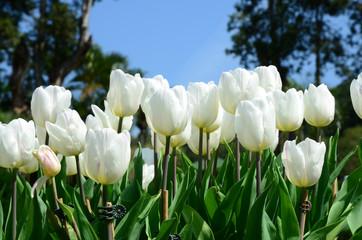 White tulips against blue sky