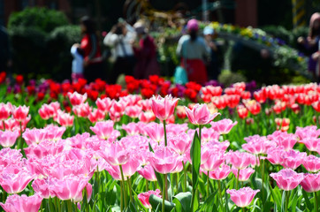People taking pictures in tulip garden