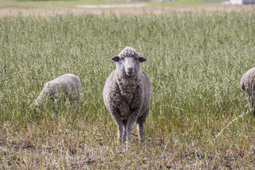 Sheep in rural field and meadow looking directly at camera