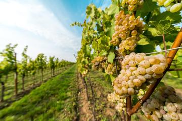 Grapes of white vine on vineyeard