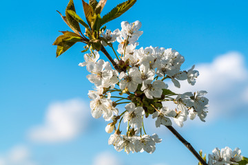 cherry blossoms in spring on blue background