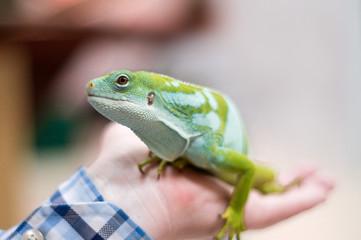 Green Iguana in hand