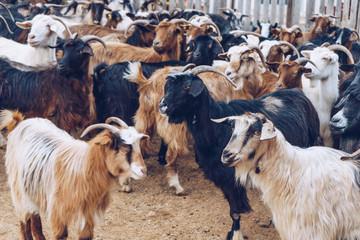 Goats on a farm.