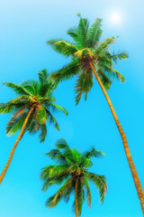 three green coconut palms with nuts on a background of sky. Tinted.