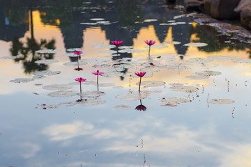searoses in pond at Angkor Wat, Cambodia, with reflection of Temple