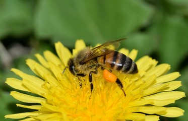 Close-up view of a honey bee busy pollinating a dandelion flower during the Spring season.