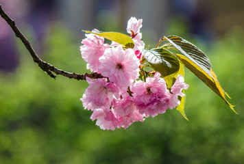 blossom of cherry tree in springtime. beautiful nature background with pink flowers on the branches