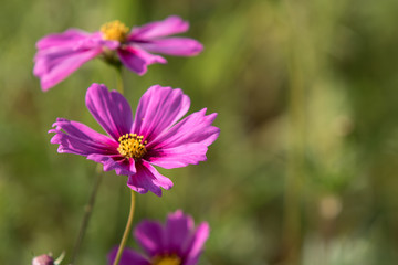 Cosmos flower in garden.