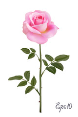 Beautiful pink rose Isolated on white background.