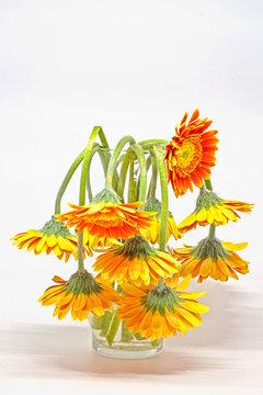 Drooping daisies in vase