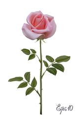 Beautiful pink rose Isolated on white background.