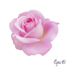 Pink Rose. Isolated Flower on a White Background.