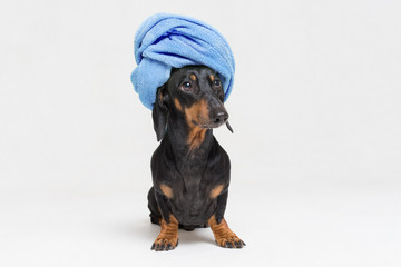 dog  breed of dachshund, black and tan, after a bath with a blue towel wrapped around her head isolated on white background