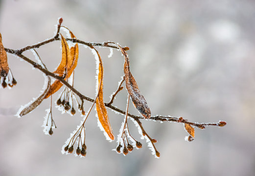frozen leafs of linden tree on a branch. lovely nature background in winter