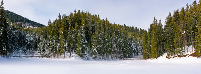 panorama of coniferous forest in winter. beautiful scenery of Synevyr National Park, Ukraine