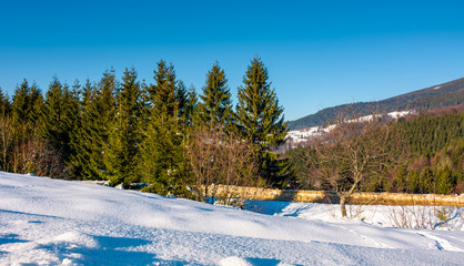 spruce forest on a snow slopes in mountains. lovely nature scenery in Carpathian countryside